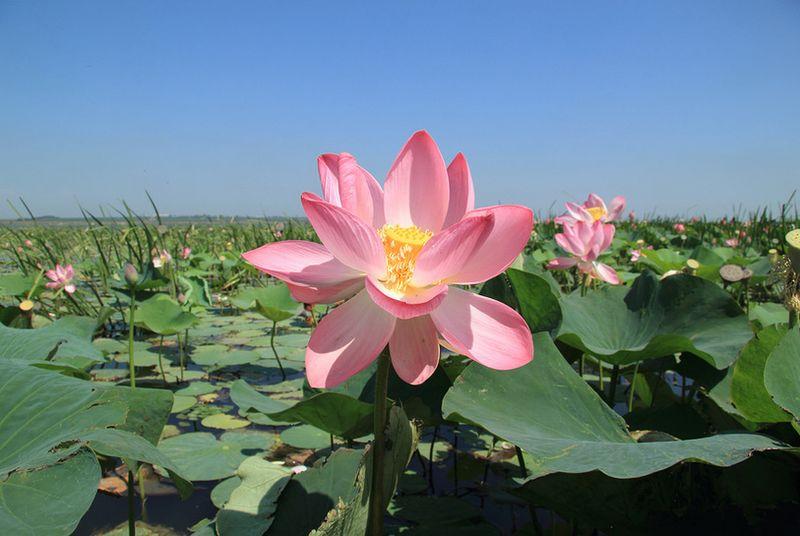 Долина лотосов в Тамани – «цветочный край», описание, как проехать, фотографии, цена экскурсии 2021.