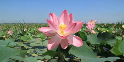 Долина лотосов в Тамани – «цветочный край», описание, как проехать, фотографии, цена экскурсии 2020.