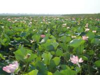 Долина лотосов в Тамани – «цветочный край»
