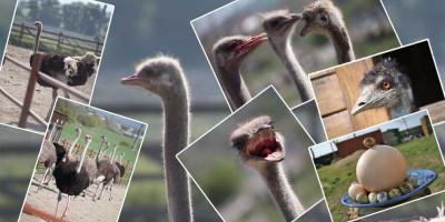 Парк страусов «Аристей» в Анапе как проехать, отзывы посетителей, номер телефона, адрес, подробное описание.