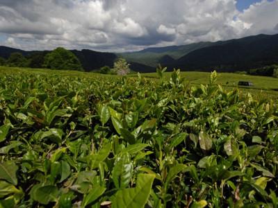 Самый северный в мире чай - Сочи